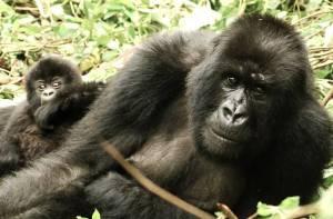735x484q70MNG-Masa-Mara-Gorillas-2014