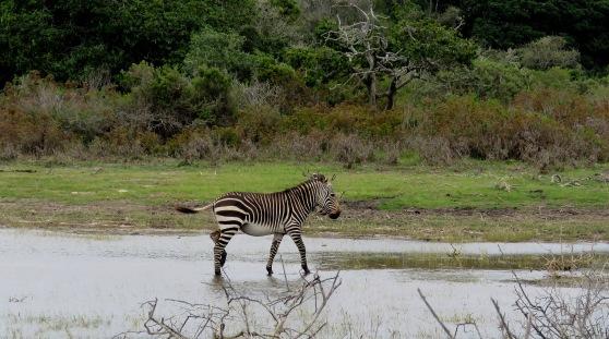 Di Brown Zebra DeHoop