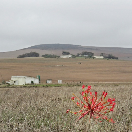 candelabra brightens up the renosterveld Di Brown