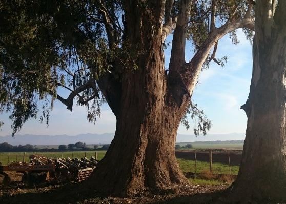 DEZEEKOE TREE DI BROWN