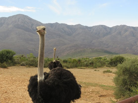 Hello ostrich Swartberg Di Brown